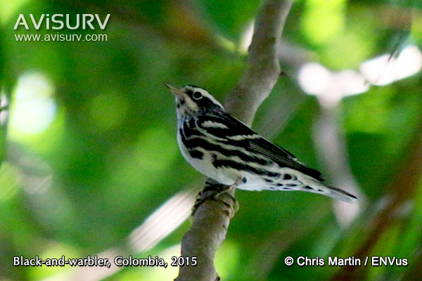 Photograph of Black-and-white Warbler (Mniotilta varia)